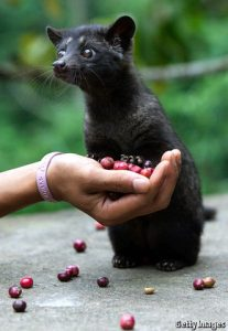 Image of a Civet with some of the coffee beans is ingests to make Civet Coffee