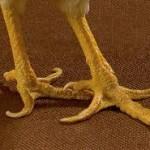 Image of live chicken feet